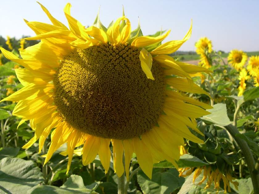 brossac sun flower france