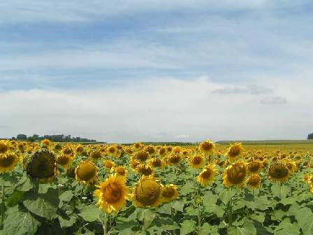 charente sunflowers image