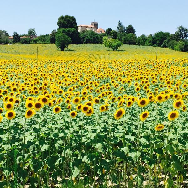 Sun flowers in Brossac