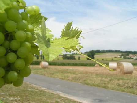 The Charente Grapes